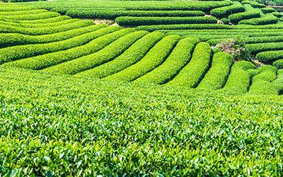 A tea világa