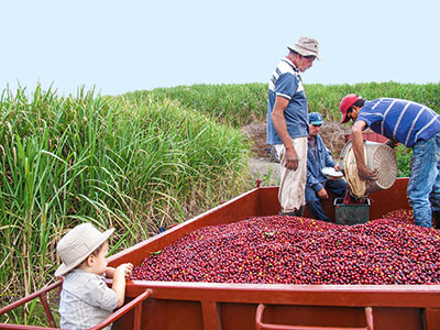 A kávé világa, kávé termesztése, feldolgozása, pörkölése, élettani hatása