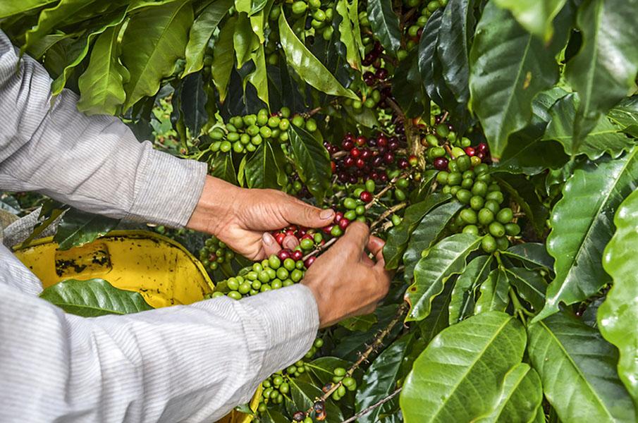 Robusta kávé tulajonságai, jellemzése, beltartalmi értékei, koffeintartalma