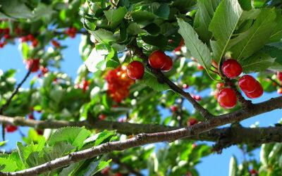 Kávé gyümölcs és a kerti cseresznye