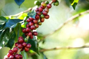 Kávé cseresznye - kávé fa termése