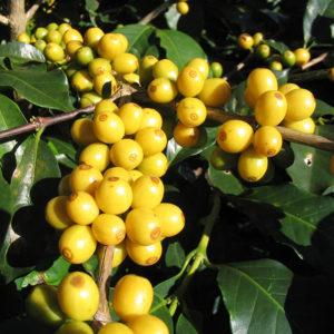 Yellow Bourbon a sárga kávé cseresznye