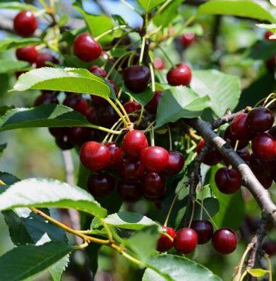 barrique meggybor száraz gyümölcsbor villányi mokos pincészet minőségi száraz gyümölcsbor