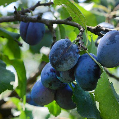 meggybor édes gyümölcsbor villányi mokos pincészet minőségi édes gyümölcsbor